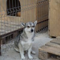 "<strong>Thor</strong><br><span style=""font-size: 70%;""> 40 cm – Mini-Husky-Bub<br>[5580 Tamsweg Österreich]</span>"