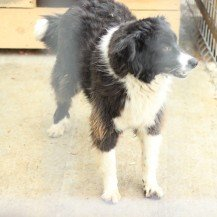"<strong>Shanti</strong><br><span style=""font-size: 70%;""> kleine Border-Collie-Mix-Dame</span>"